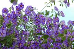 De klimplant van de Aardappel van bloemen stock foto