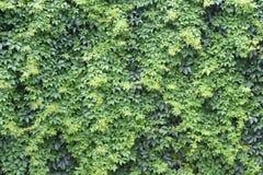 De klimplant van de muur Stock Afbeeldingen