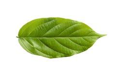 De klimplantbladeren van Rangoon Royalty-vrije Stock Foto's