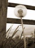 De klok van de paardebloem Stock Fotografie