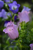 De Klokbloemen Stock Afbeelding