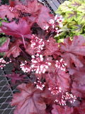 De Klokbloemen van het koraal royalty-vrije stock afbeelding
