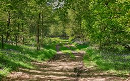 De Klokjes van de lente in een Engels Beukehout Stock Afbeeldingen