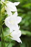 De Klokken van de bloem Royalty-vrije Stock Afbeeldingen