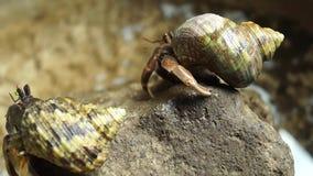 De kluizenaarkrab worstelt om een rots te beklimmen stock video