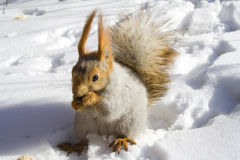 De knagende aan noten van de eekhoorn Stock Fotografie