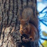 De knagende aan noten van de eekhoorn Stock Afbeeldingen