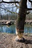 De knagende aan schade van de beverboom in bos Stock Afbeelding