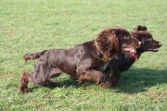 De knappe chocolade werkende type honden van het cocker-spaniëlpuppy Stock Afbeelding
