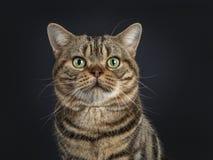 De knappe jonge volwassen zwarte kat van gestreepte kat Amerikaanse die Shorthair, op een zwarte achtergrond wordt geïsoleerd royalty-vrije stock fotografie