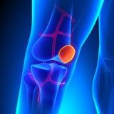 De Kniebeen van de knieschijfanatomie met Ciculatory-Systeem Royalty-vrije Stock Afbeeldingen