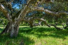 De knoestige takken van een majestueuze oude eiken die boom over een zon-gevlekte groene grasrijke weide wordt uitgespreid royalty-vrije stock afbeeldingen