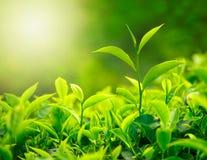 De knop en de bladeren van de thee stock foto