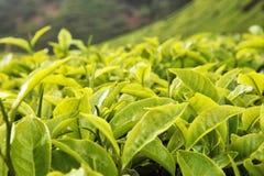 De knop en de bladeren van de thee. Stock Fotografie