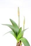 De knop van de amaryllis Royalty-vrije Stock Fotografie