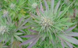 De knop van de cannabisbloem Royalty-vrije Stock Fotografie