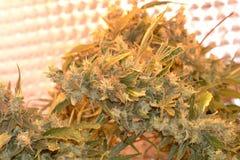De knop van de cannabisinstallatie stock foto's