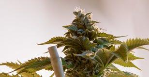 De Knop van de cannabismarihuana Stock Afbeeldingen