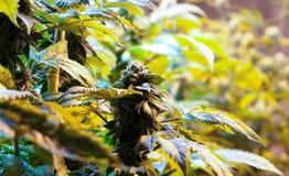 De Knop van de cannabismarihuana Royalty-vrije Stock Foto