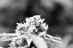 De Knop van de cannabismarihuana stock foto's