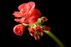 De knop van de geranium het uitbreiden zich Stock Foto