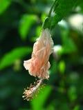 De Knop van de hibiscusbloem Royalty-vrije Stock Afbeeldingen