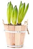 De knop van de hyacint Royalty-vrije Stock Afbeelding