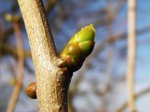 De knop van de lente stock foto