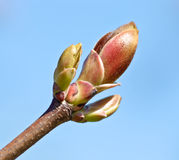De Knop van de lente Stock Fotografie
