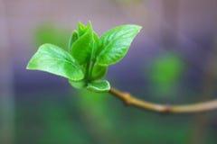 De knop van de lente - een symbool van het leven Stock Foto's