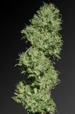 De knop van de marihuana Stock Afbeeldingen