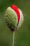 De knop van de papaver royalty-vrije stock fotografie