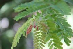 De knop van de tamarinde. Royalty-vrije Stock Afbeeldingen