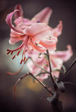 De knop van de tuinbloem Stock Foto