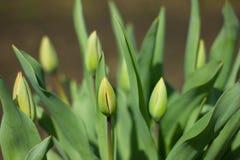 De knop van de tulp Stock Fotografie