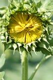 De knop van de zonnebloem Stock Foto