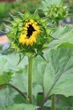 De Knop van de zonnebloem Stock Fotografie