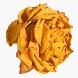 De knop van droge geel nam geïsoleerd toe Royalty-vrije Stock Fotografie
