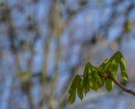 De knop van kastanjebladeren bij de vroege lente Vage achtergrond Zonnige dag Stock Afbeelding