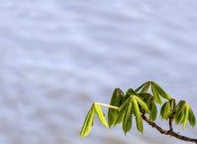 De knop van kastanjebladeren bij de vroege lente Vage achtergrond Zonnige dag Stock Foto's