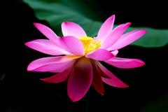 De knop van Lotus Royalty-vrije Stock Foto's