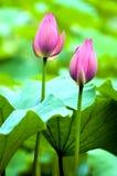 De knop van Lotus Royalty-vrije Stock Foto