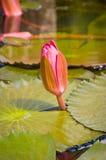 De knop van Lotus Stock Fotografie
