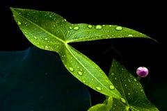De knop van Lotus Royalty-vrije Stock Afbeeldingen