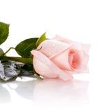 De knop van roze nam toe Royalty-vrije Stock Foto's