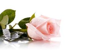 De knop van roze nam toe Royalty-vrije Stock Fotografie