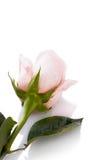 De knop van roze nam toe Stock Afbeelding