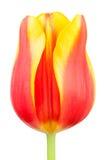 De knop van tulpen royalty-vrije stock foto's