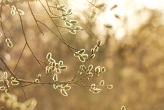 De knoppen in de lente Royalty-vrije Stock Foto's