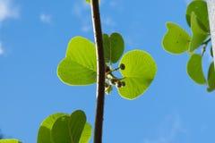 De knoppen en de bladeren van het kiwifruit tegen blauwe hemel Royalty-vrije Stock Afbeeldingen
